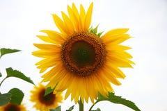 Один солнцецвет Стоковая Фотография