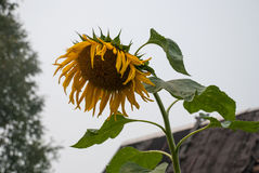 один солнцецвет Стоковое Изображение RF