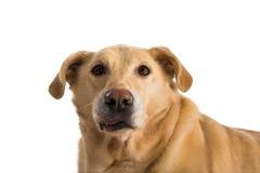 Один старый желтый labrador стоковое изображение