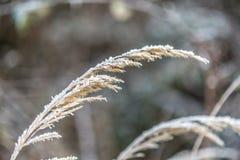 Один сухой стержень травы в зиме покрытой замороженным снегом Стоковое Изображение RF
