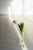 Один тюльпан в вазе Стоковая Фотография RF