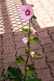 Один уединённый hollyhock на крепком стержне листьев Стоковое фото RF