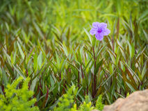 Один фиолетовый цветок окруженный зелеными лист Стоковая Фотография RF