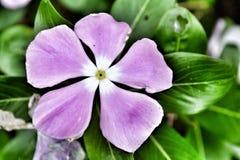 Один фиолетовый цветок Стоковые Фото