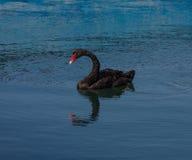 Один черный лебедь в бассейне моря Стоковая Фотография RF