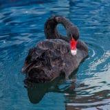 Один черный лебедь плавает в бассейн моря Стоковое Изображение