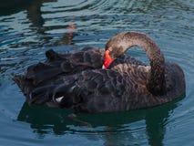 Один черный лебедь Стоковые Фото