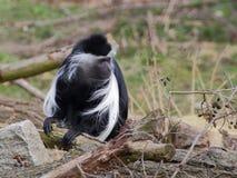 Один colobus Анголы сидит на ветви Стоковые Изображения RF
