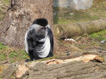Один colobus Анголы сидит на том основании стоковые изображения