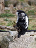 Один colobus Анголы сидит на утесе Стоковая Фотография RF