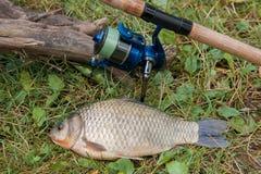 Один crucian рыбы или карась на зеленой траве Заразительное freshwate Стоковая Фотография RF