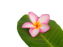 Один frangipani на листьях Стоковые Фото