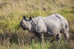 Один horned носорог Стоковая Фотография