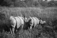 Один horned носорог Стоковые Фото