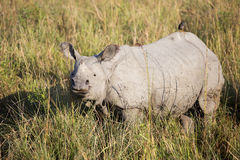 Один horned носорог Стоковое фото RF