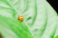 Один ladybird на лист Стоковое Изображение