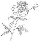 один peony Sketch черно-белое Стоковые Изображения RF