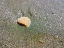 Один seashell Стоковое Фото