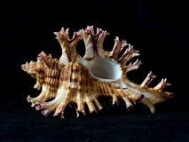 Один seashell изолированный на тоне предпосылки темной черноты, конце вверх Стоковые Изображения