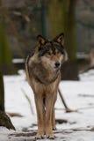 одичалый волк Стоковое Изображение