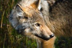 Одичалый волк Стоковые Изображения