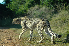 Одичалый гепард Стоковые Фото