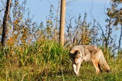Одичалый койот Стоковое фото RF