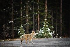 Одичалый койот Стоковая Фотография RF