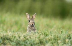 Одичалый кролик Стоковое Фото
