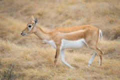 Одичалая лань антилопы Стоковое Изображение