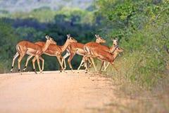 Одичалая африканская антилопа, Стоковое Изображение RF