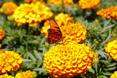 Одичалая бабочка VI Стоковые Изображения