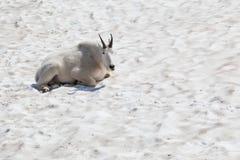 Белая козочка горы Стоковые Фото