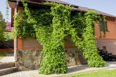 Одичалая виноградина на стене Стоковое Фото
