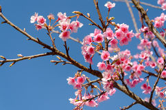 Одичалая гималайская вишня или японская цветя вишня Стоковое Фото