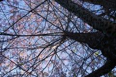 Одичалая гималайская вишня Сакура Таиланд Стоковые Изображения