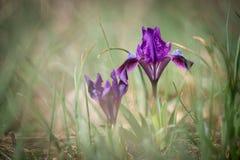 Одичалая голубая радужка - селективный фокус Стоковое фото RF