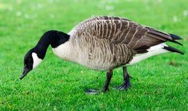 Одичалая гусыня, гусыни есть траву в парке Объединенное Kinghdom, Девон Стоковые Изображения