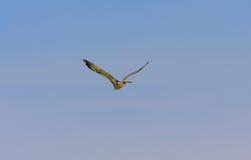 Одичалая гусыня летая в лете Стоковое Фото