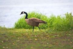 Одичалая гусыня Канады на траве около озера Стоковые Фотографии RF