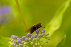 Одичалая деталь мухы Стоковые Фотографии RF