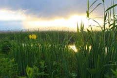 Одичалая желтая радужка около пруда на заходе солнца Стоковая Фотография