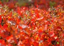 Одичалая живая красная осень bushes листва Стоковые Изображения RF