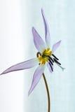 Одичалая лилия, вертеп-волк Erythronium Стоковое Фото