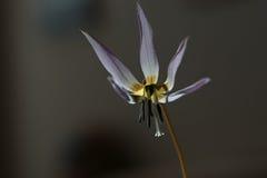 Одичалая лилия, вертеп-волк Erythronium Стоковая Фотография RF