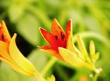 Одичалая лилия Стоковое Изображение RF