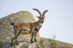 Одичалая коза na górze утеса Стоковое Изображение RF