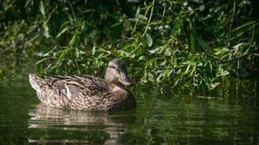 Одичалая коричневая утка на воде стоковое изображение
