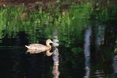 Одичалая коричневая утка плавая на поверхность воды пруда Стоковые Изображения RF