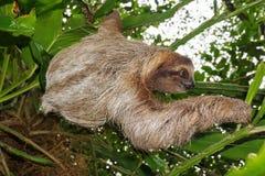Одичалая коричнев-throated 3-toed лень в джунглях Стоковая Фотография RF